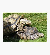 Spornschildkröte (Centrochelys sulcata) Fotodruck