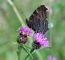 Peacock on Knapweed by John Keates