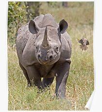 Black Rhino With Oxpecker Poster