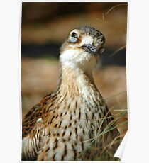 Bush Thick-Knee Poster