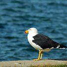 Pacific Gull by samatar