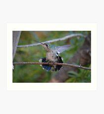 Broad- Billed Hummingbird Art Print