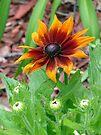 Autumn Colors Black Eyed Susan by FrankieCat