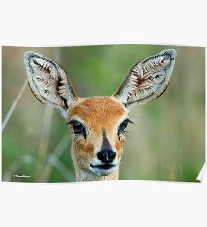 UP CLOSE - STEENBOK – Raphicerus campestris Poster