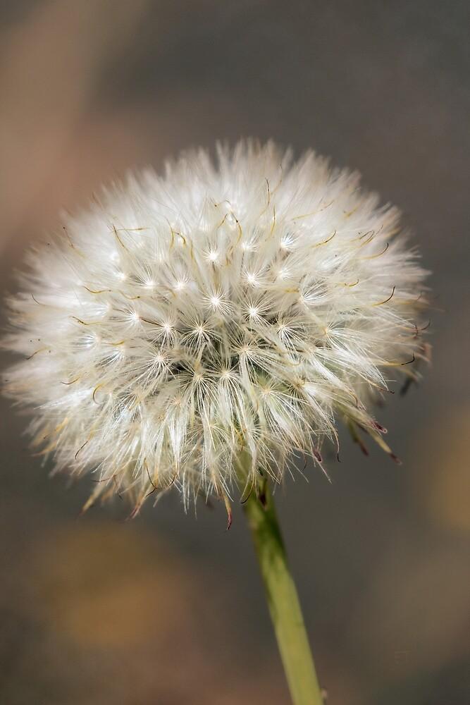 Dandelion Seed Head by Elaine Teague