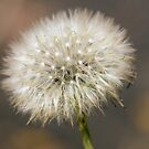 Dandelion Seed Head by Elaine Teague