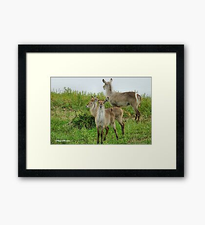 THE WATERBUCK – Kobus ellipsiprymnus Framed Print