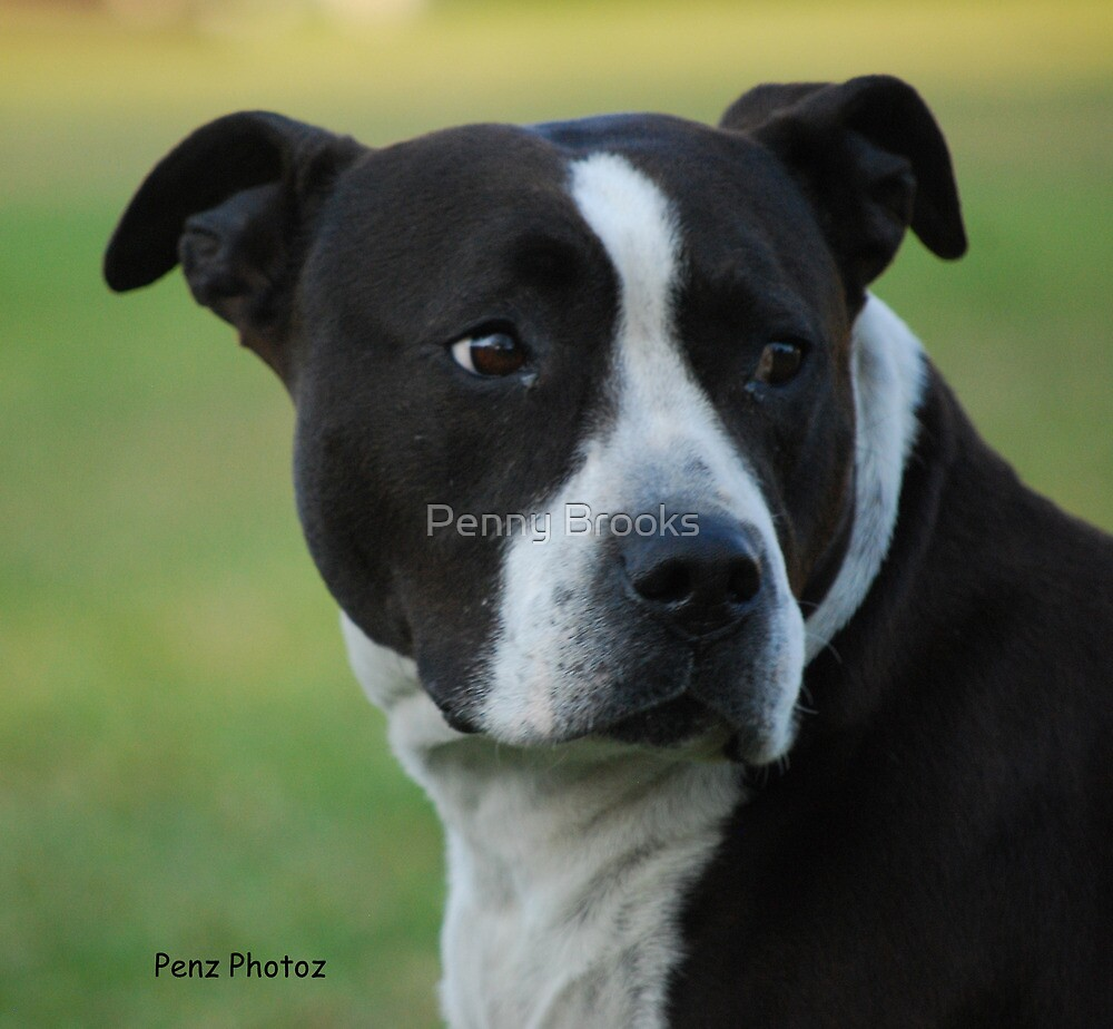 American Staffordshire Bull Terrier by Penny Brooks