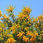 Baldivis Nuytsia floribunda by lezvee