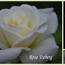 Rosa 'Iceberg' Collage by Julie Sherlock