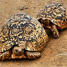 FOLLOWING HER - THE  MOUNTAIN - LEOPARD TORTOISE – Geochelone pardalis by Magriet Meintjes