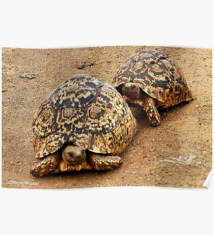FOLLOWING HER - THE  MOUNTAIN - LEOPARD TORTOISE – Geochelone pardalis Poster