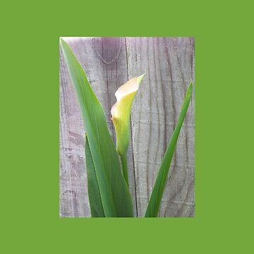 Beautiful Single Calla Lily by ccnnddrr55