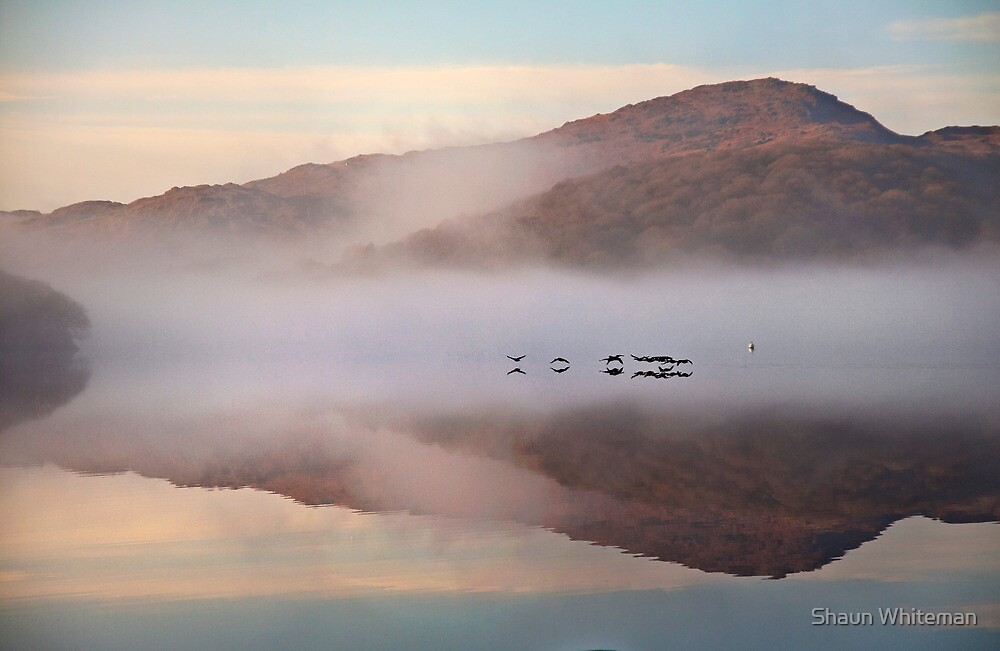 Geese flyby by Shaun Whiteman