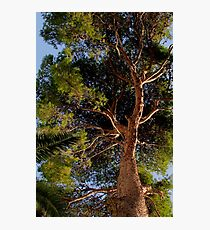 Pollensa Pine Tree Photographic Print