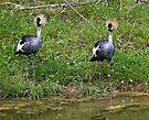 East African Crowned Cranes by eegibson