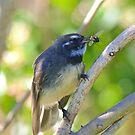 FANTAIL ~ Grey Fantail by David Irwin by tasmanianartist