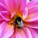 Bumble Bee on a Dahlia by Carly Chapman