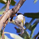 HONEYEATER ~ Black-headed Honeyeater by David Irwin by tasmanianartist