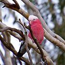 PARROT ~ Galah by David Irwin by tasmanianartist