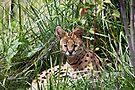 Serval by eegibson