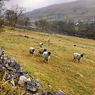 Sheep on the Side of the Hill, Yorkshire Dales, England by Christine Smith