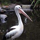 Australian Pelican by kirstybush
