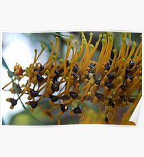 Silk Oak (Grevillea Robusta) : Sap Poster