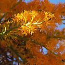 Nuytsia Blooming by kalaryder