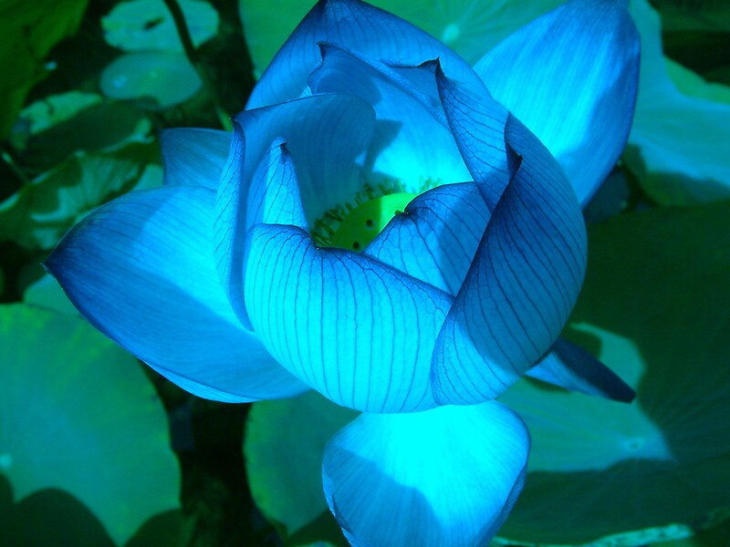 Quot Blue Lotus Flower Quot By Ingridsonja Redbubble