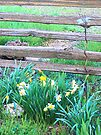 Split Rails and Daffodils by Betty  Town Duncan