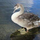 her magistrates swan  by keatsphotos