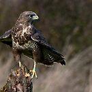 Peregrine Falcon (Falco peregrinus) by Foxfire