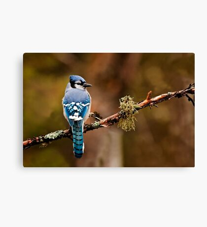 Blue Jay On Branch Canvas Print