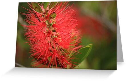 Australian Native - Bottlebrush by reflector