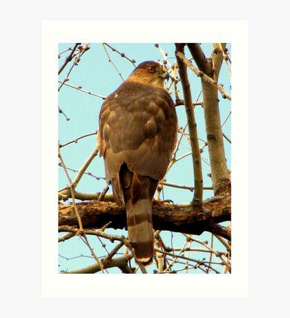 Coopers Hawk ~ Accipiter Art Print