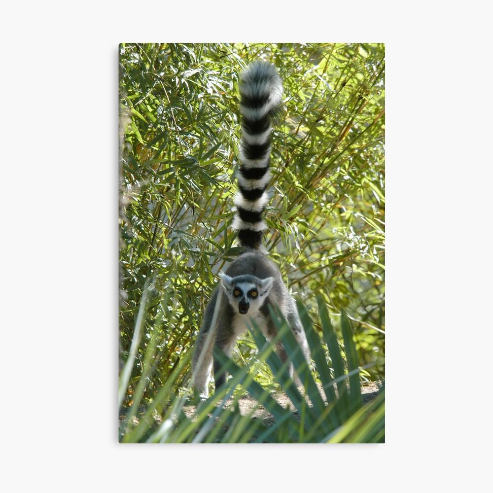 Ring-tailed Lemur 1 Canvas Print