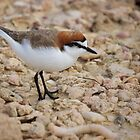 Red Capped Plover 2 by D-GaP