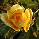 Yellow Rose by newbeltane