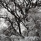 Snow Covered Trees 01 by Jason Moore