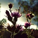 Purple thistle by Lenka Vorackova
