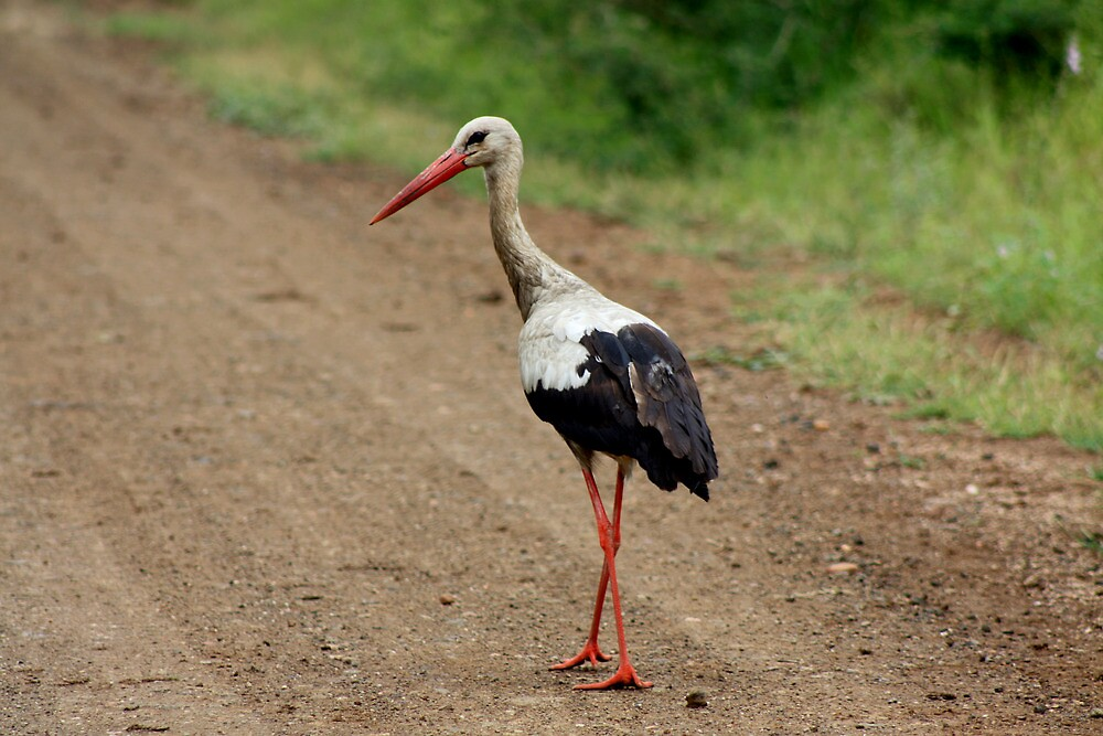 White Stork by Sassie Otto