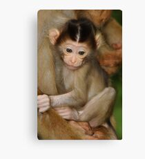 Pig-tailed Macaque 1 Canvas Print