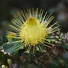 Dryandra  (Banksia ser.) by lezvee