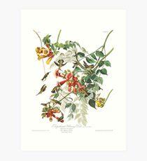 Lámina artística Colibrí garganta de rubí - John James Audubon