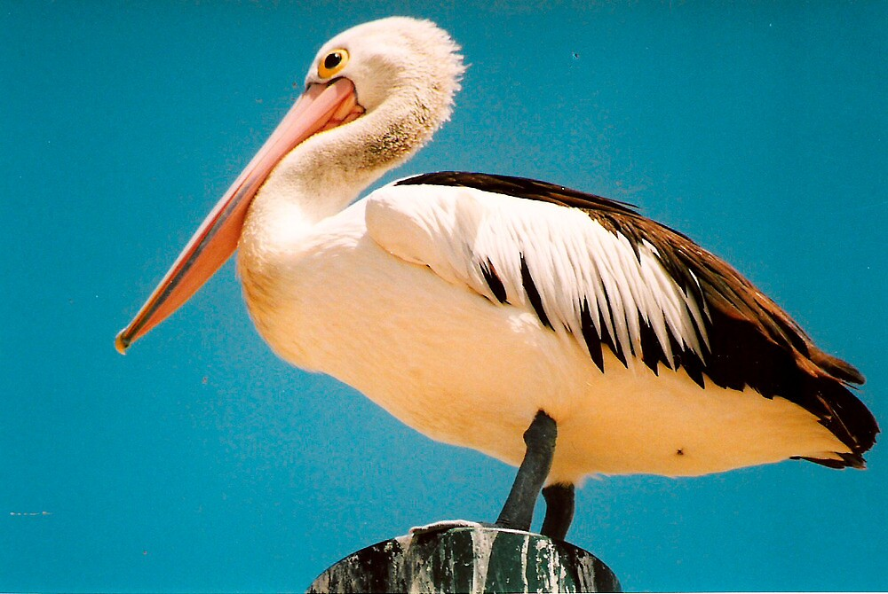 Pelican on Top of High Pole. by Mywildscapepics