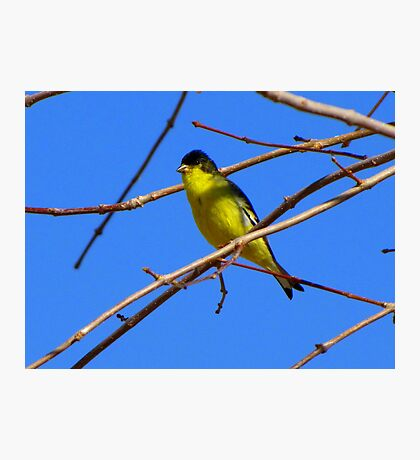Lesser Goldfinch ~ Male Photographic Print