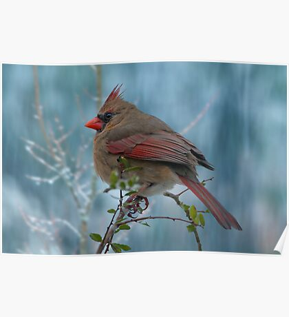 Little Lady Cardinal  Poster