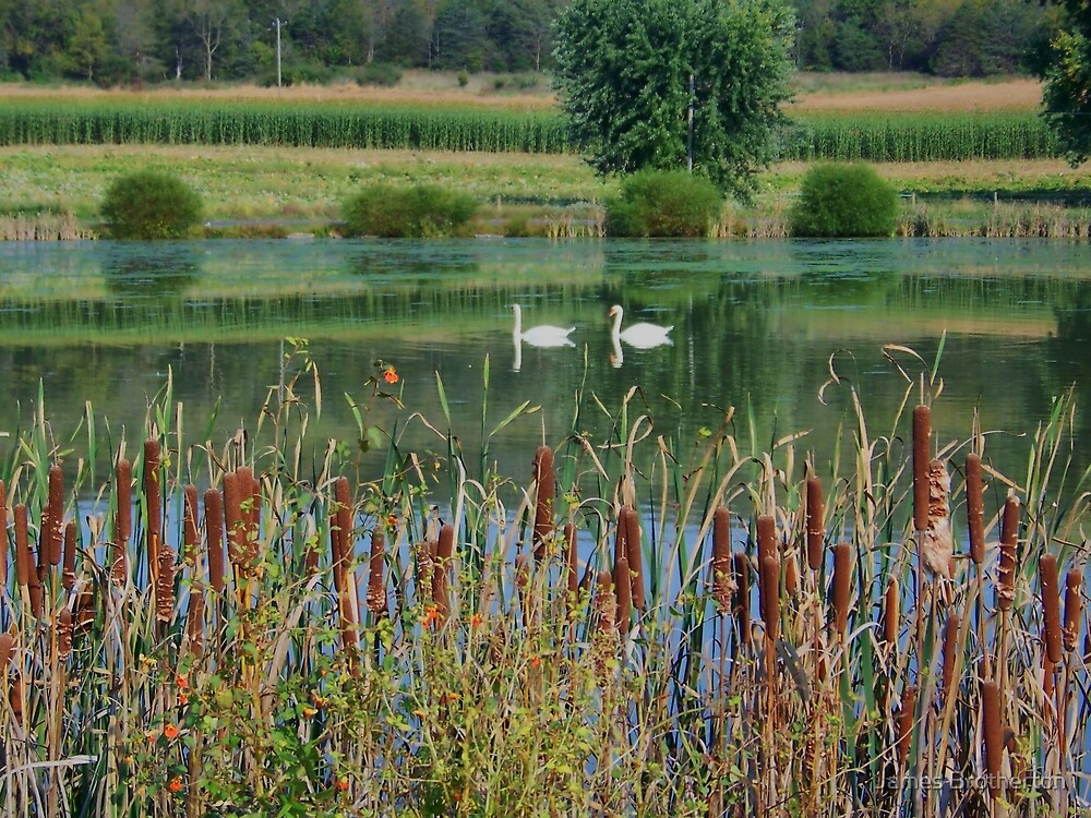 Swans On A Mennonite Farm by James Brotherton
