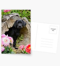 Lab puppy playing hide and seek Postcards